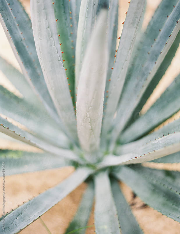 Agave Plant  by Vicki Grafton Photography for Stocksy United
