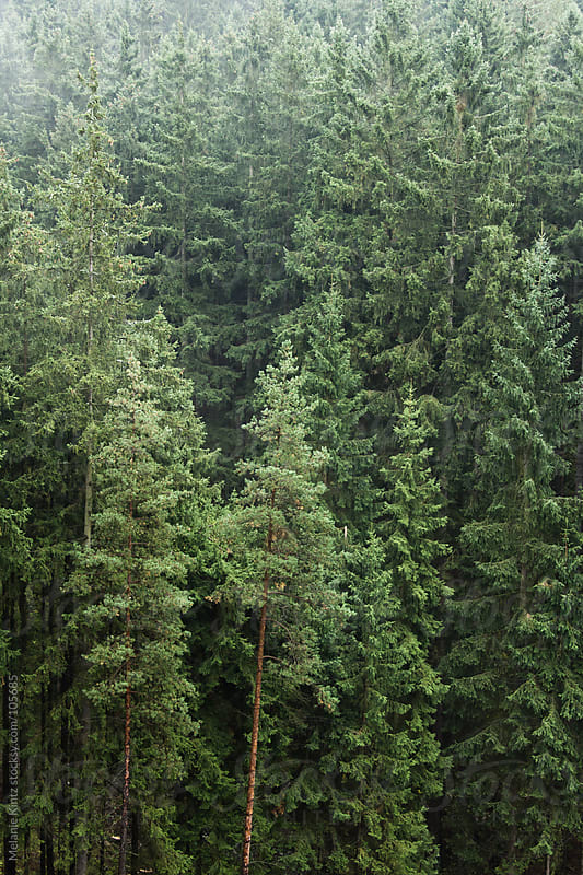 Green spruce forest on a foggy day by Melanie Kintz for Stocksy United