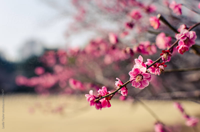 Ume Blossoms at Shinjuku Park in Tokyo by Leslie Taylor for Stocksy United