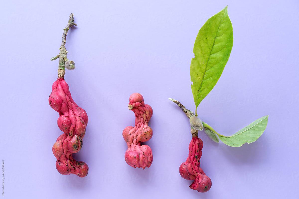 Strange Shapes Of Magnolia Seed Pods Stocksy United