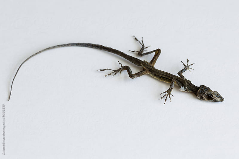 Dead lizard on a white background by Adam Nixon for Stocksy United