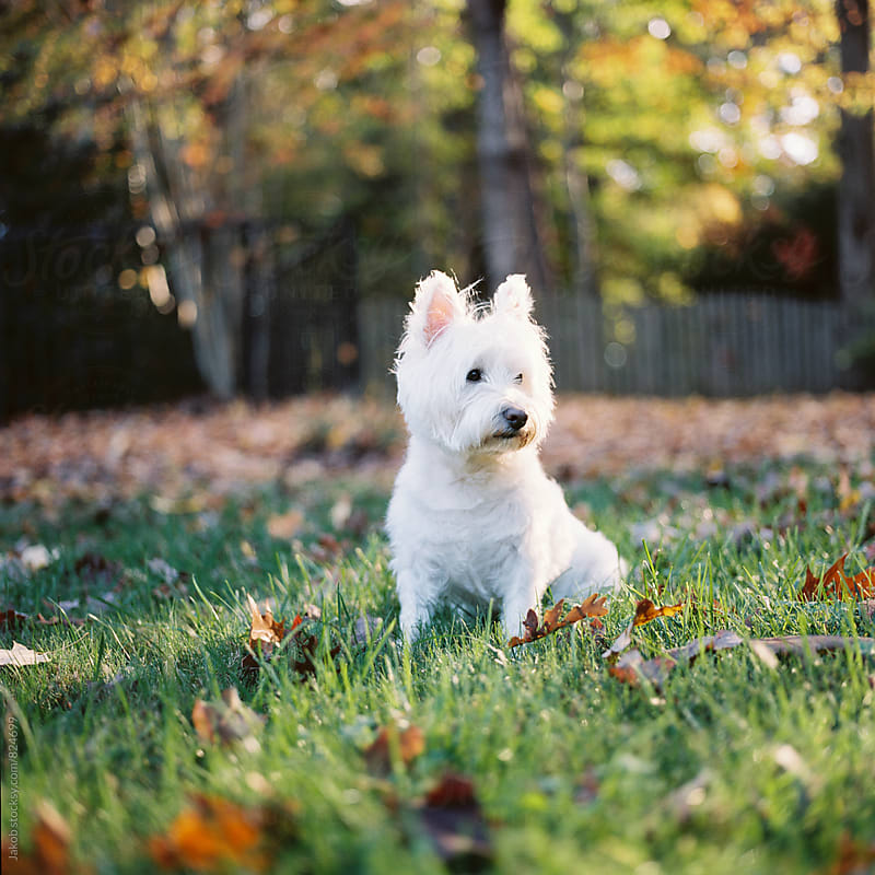 Portrait of a cute white dog sitting on grass in a park by Jakob for Stocksy United