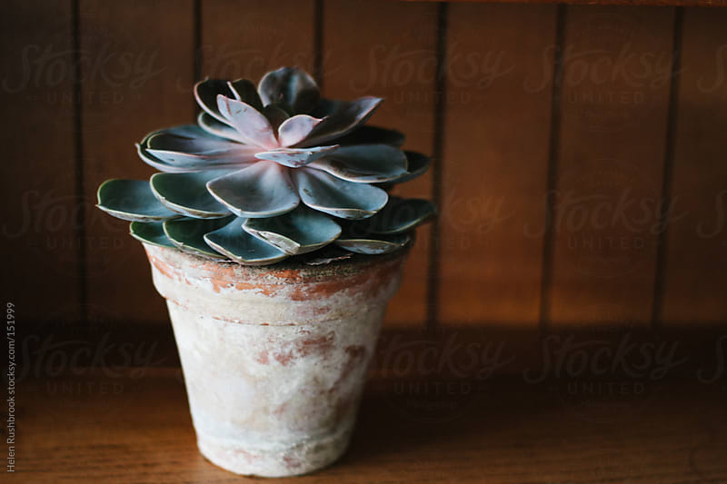 A succulent in a vintage terracotta pot by Helen Rushbrook for Stocksy United
