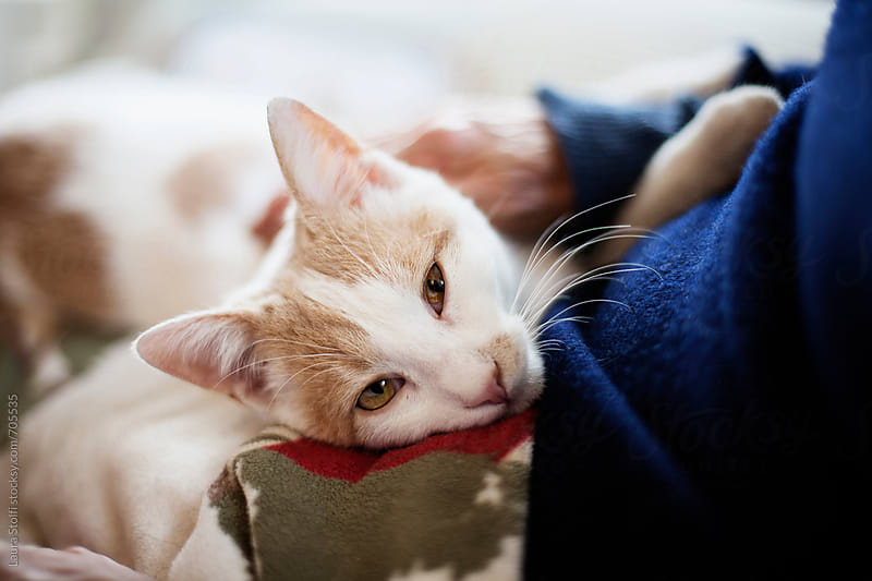 Close up of cat enjoying laying on his owner's lap by Laura Stolfi for Stocksy United