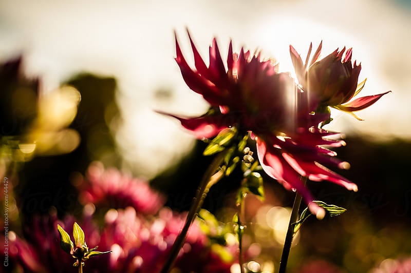 Blurred Chrysanthemum Flowers Before Sunset by Claudia Lommel for Stocksy United