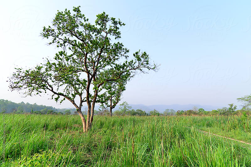 Old tree in Chitwan National Park by Bisual Studio for Stocksy United