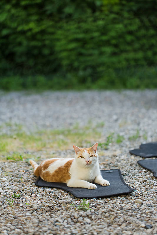 White and ginger cat relaxes on car carpet in garden by Laura Stolfi for Stocksy United