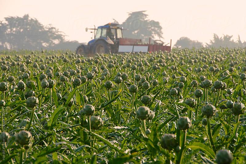 Artichoke harvest by Harald Walker for Stocksy United