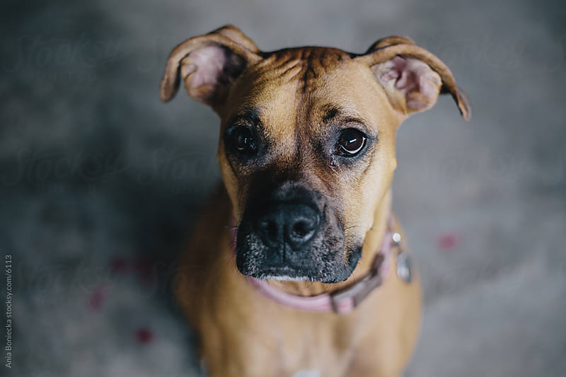 Cute boxer dog by Ania Boniecka for Stocksy United