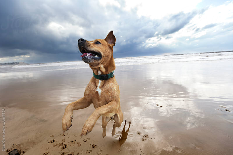 Mid-Air Jumping Winter Beach Dog by Eldad Carin for Stocksy United