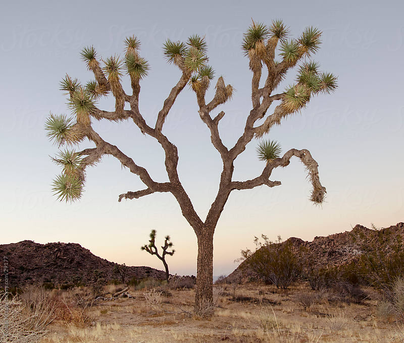 Joshua Trees in Palm springs by Tomas Kraus for Stocksy United
