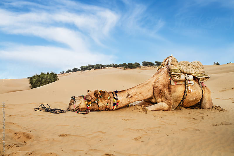 exhausted camel by Leander Nardin for Stocksy United