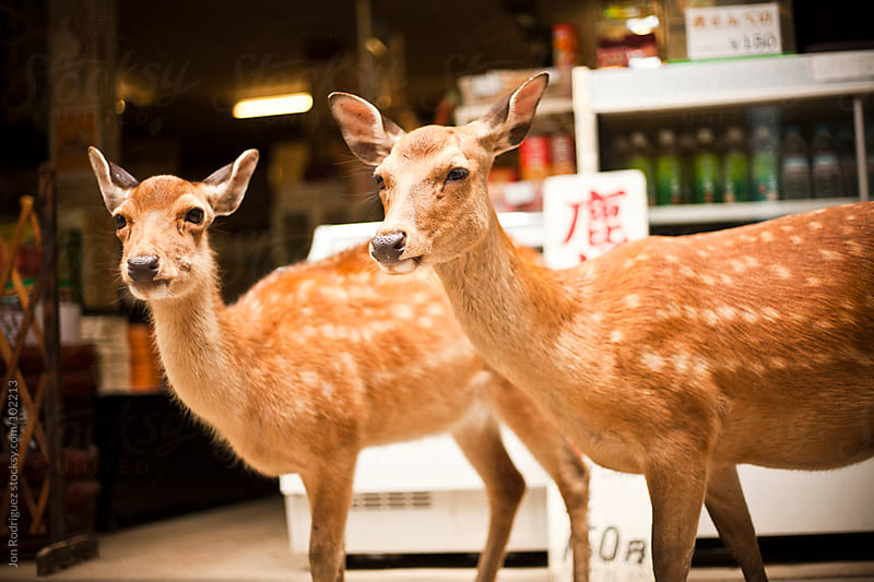 Deers in Kasuga Taisha area, Nara, Japan by Jon Rodriguez for Stocksy United