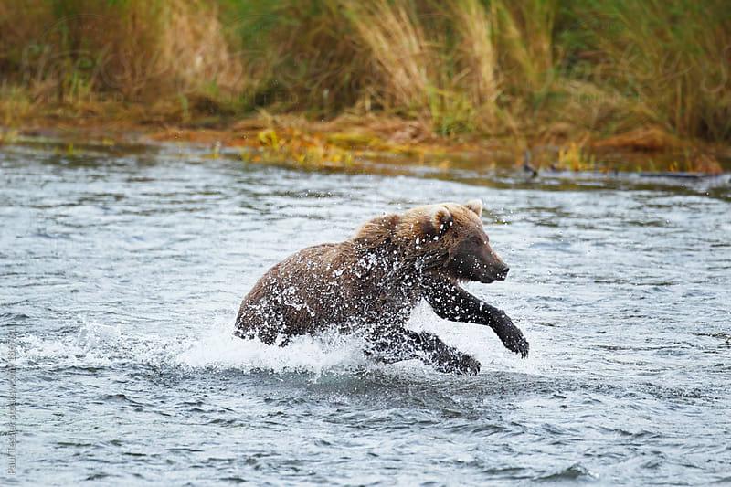 Splashing Bear by Paul Tessier for Stocksy United