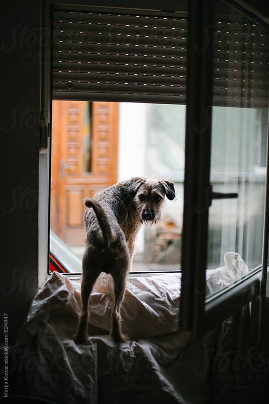 Dog standing at the window - vertical by Marija Kovac for Stocksy United