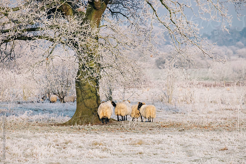 Sheep gathered under a tree covered in a thick hoar frost. Norfolk, UK. by Liam Grant for Stocksy United