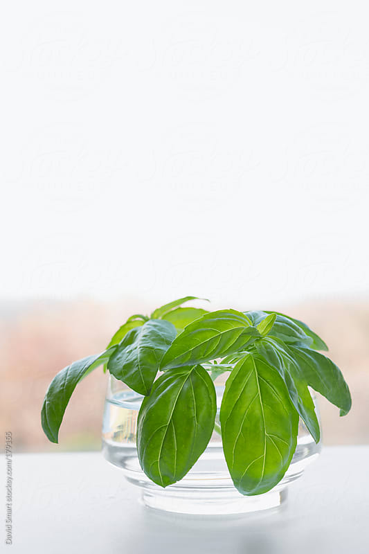 Sprigs of sweet basil in glass on kitchen windowsill by David Smart for Stocksy United