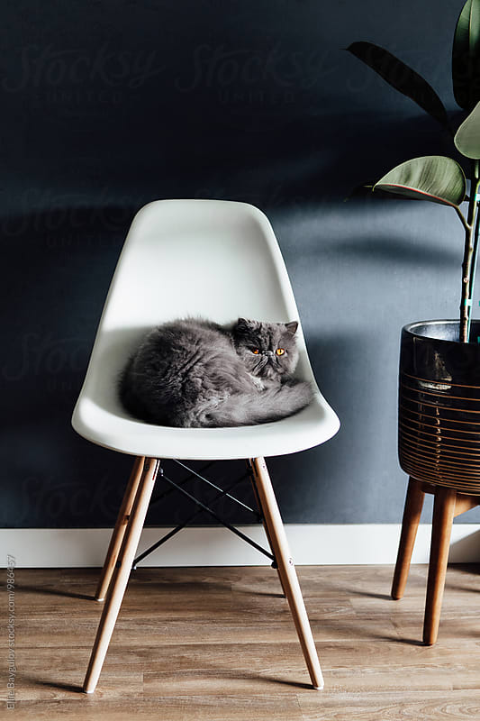 Persian kitty laying on a chair by Ellie Baygulov for Stocksy United