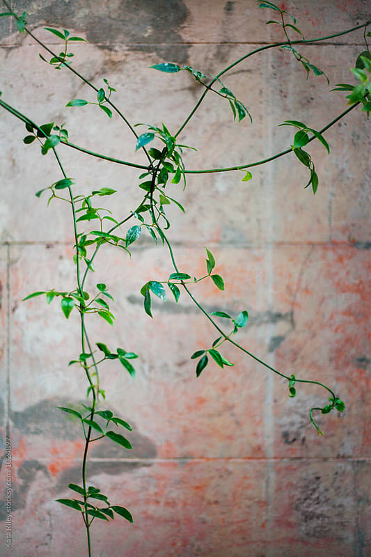 Green Vine growing in front of pink wall by Kara Riley for Stocksy United