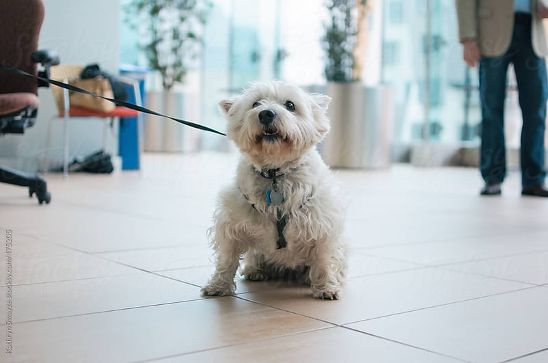 A Westie visits the office, pulls against her leash by Kathryn Swayze for Stocksy United