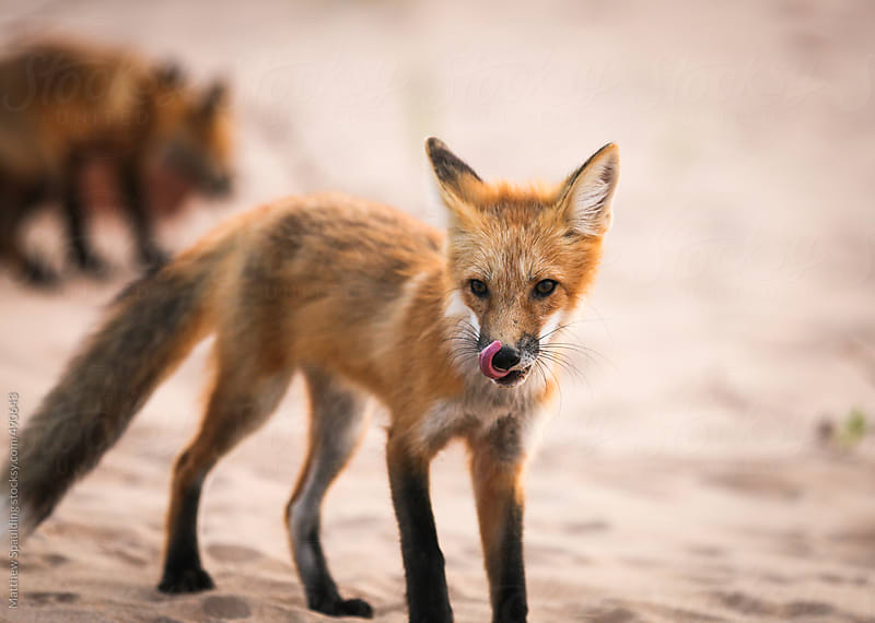 Wild fox licking mouth in natural animal environment by Matthew Spaulding for Stocksy United