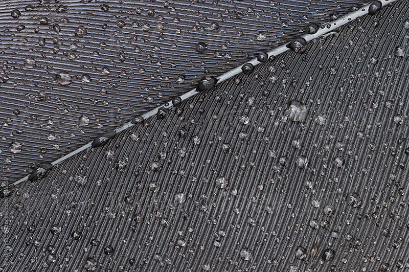 Bird feather and raindrops, closeup by Mark Windom for Stocksy United