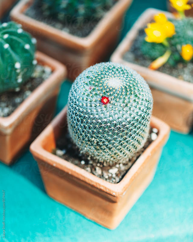 Tiny red flower blossoming on cactus in pot by Laura Stolfi for Stocksy United