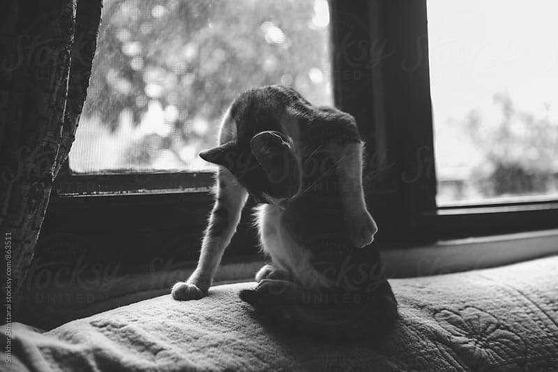 Cat sits beside the window and cleans itself. by Shikhar Bhattarai for Stocksy United
