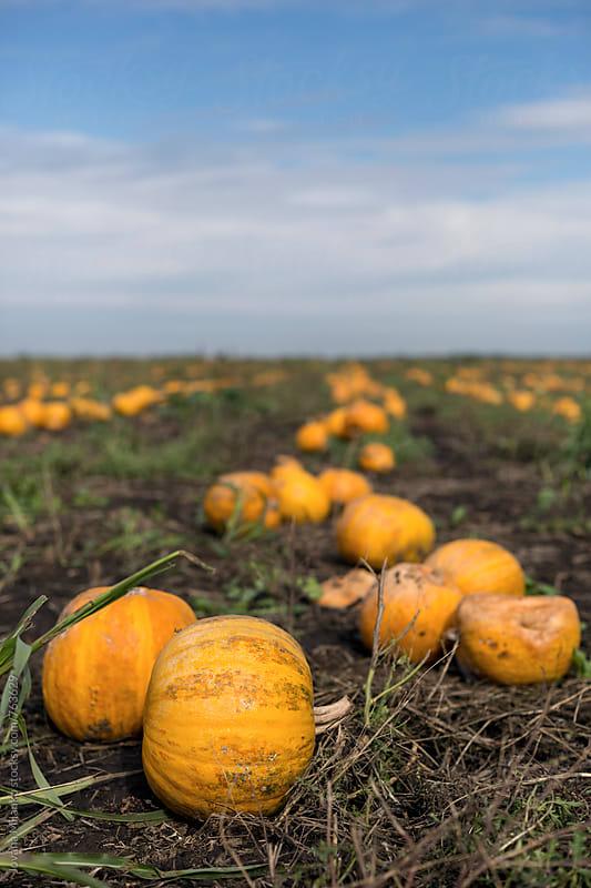 Pumpkin crop by Jovana Milanko for Stocksy United