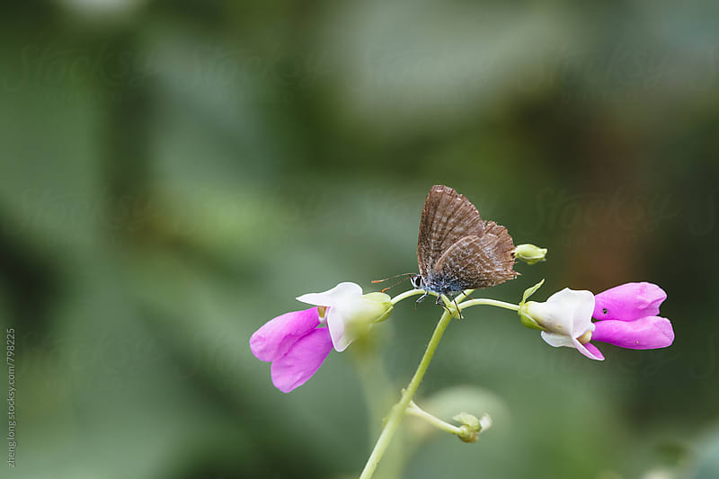 Butterfly on cowpea flower by zheng long for Stocksy United