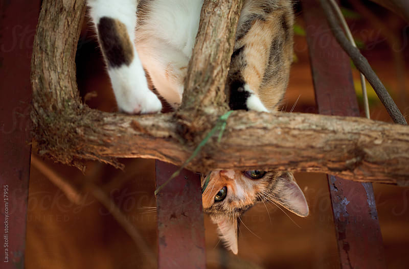 Cat upside-down on a tree looks at the camera by Laura Stolfi for Stocksy United