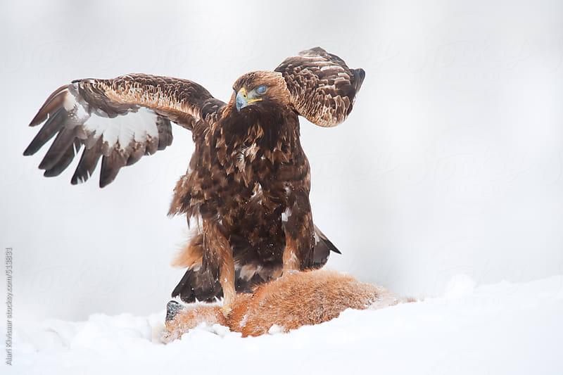 Golden Eagle by Alari Kivisaar for Stocksy United
