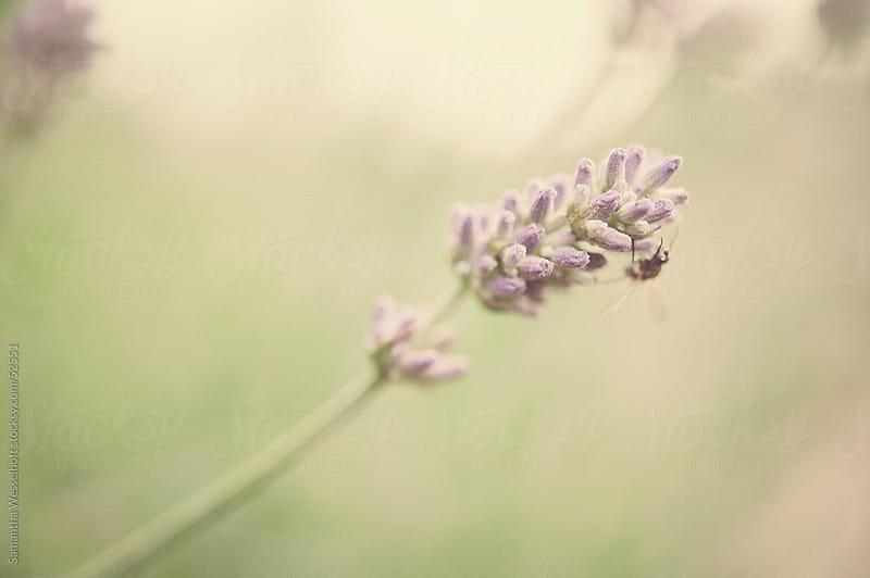lavender macro by Samantha Wesselhoft for Stocksy United