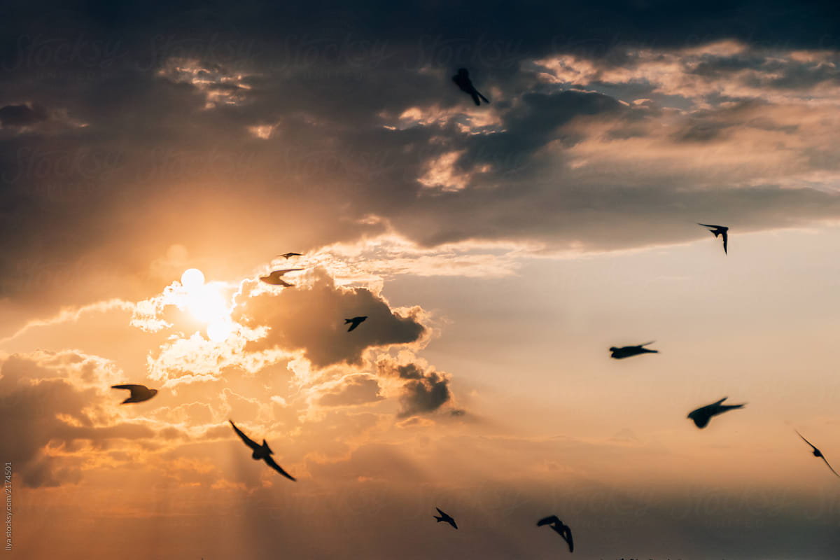 Swallows Flying In The Sky On ...