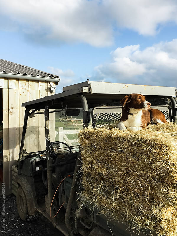 Dog sat on hay bales on the back of a tractor by Suzi Marshall for Stocksy United