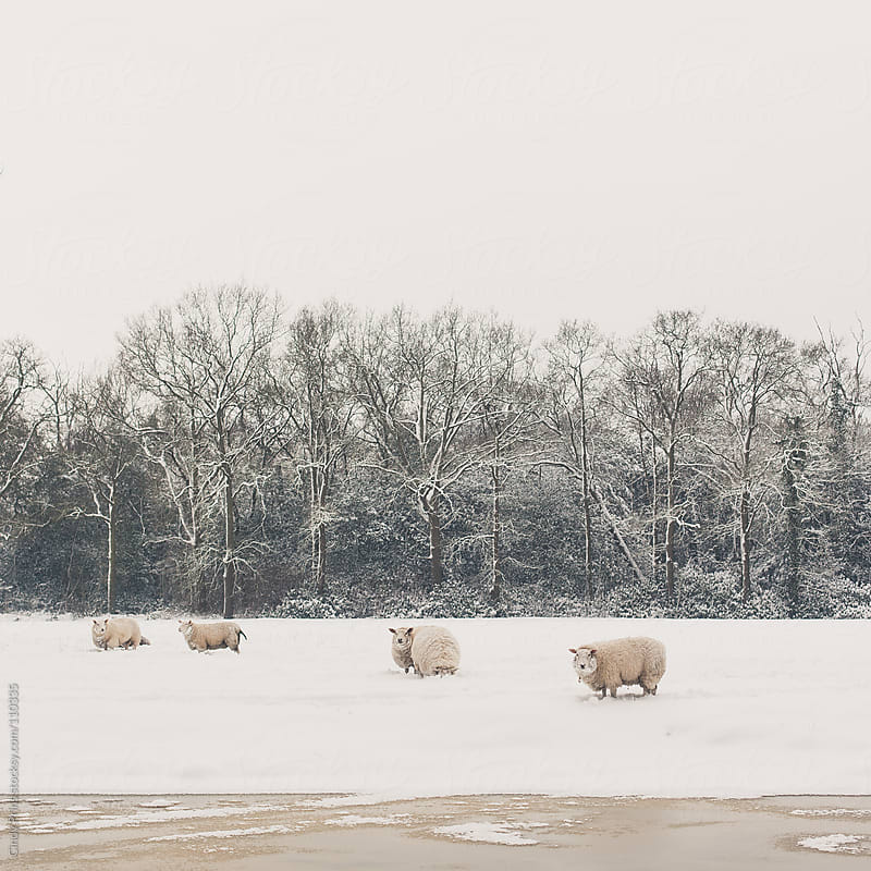 Sheep standing in the snow in a field with a row of trees behind them by Cindy Prins for Stocksy United