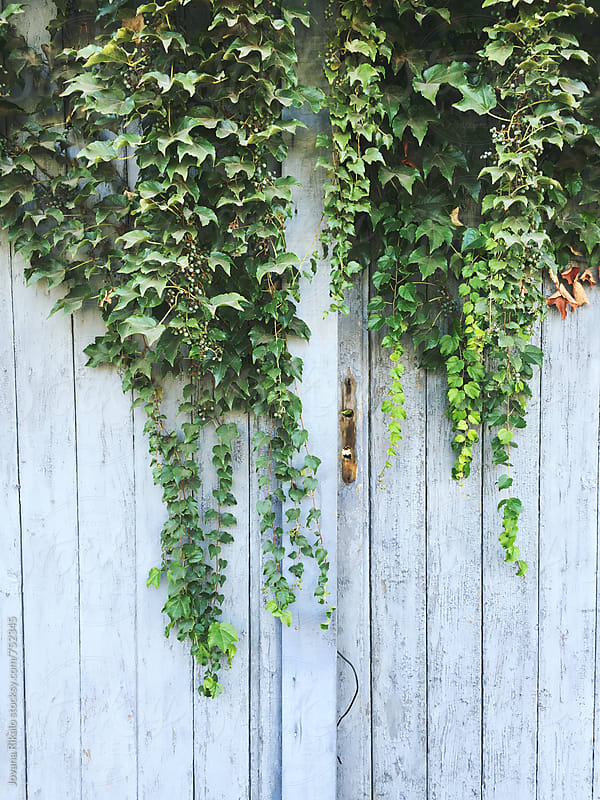 Ivy on an old door by Jovana Rikalo for Stocksy United