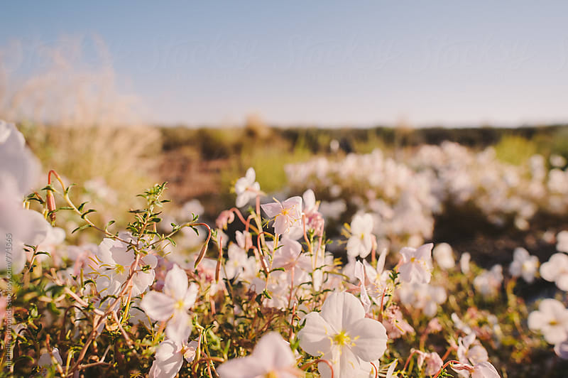 Blooms in the Desert by michelle edmonds for Stocksy United