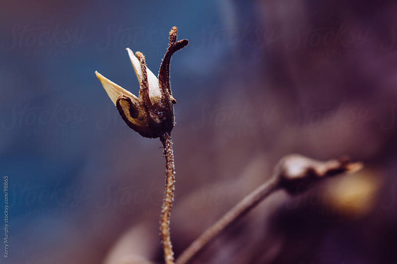 Macro of dried flower in autumn by Kerry Murphy for Stocksy United
