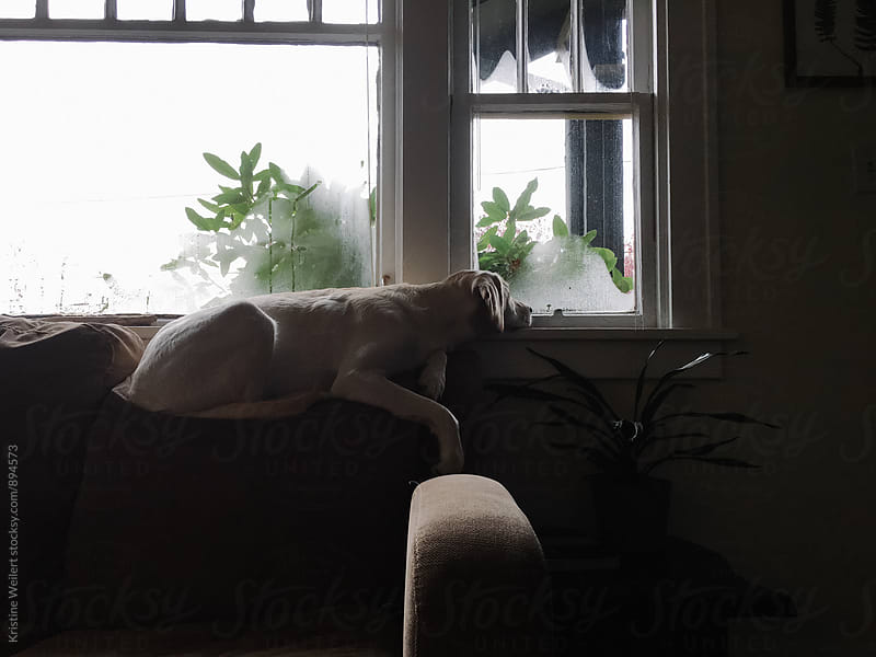 White dog laying on Couch Looking out Window by Kristine Weilert for Stocksy United