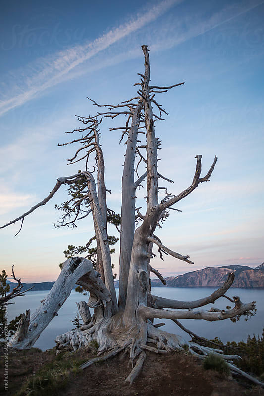 Old tree on the Crater Lake by michela ravasio for Stocksy United