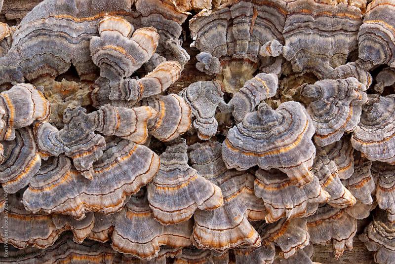 Closeup macro cluster turkey tail mushroom fungi (trametes versicolor) fallen log Muscatatuck by Ron Mellott for Stocksy United