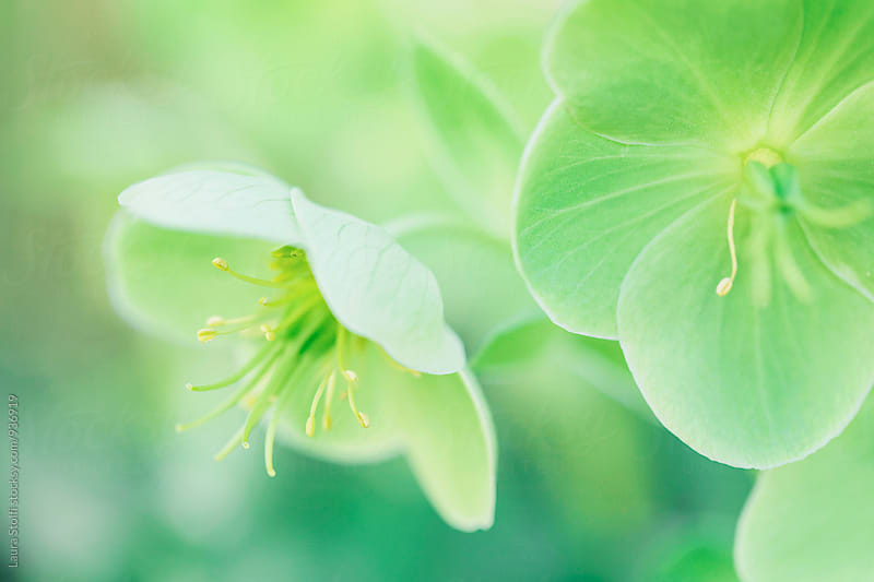Extreme close up of all green Helloborus flowers in bloom by Laura Stolfi for Stocksy United