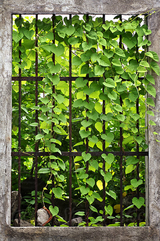 Uncontrolled vine growth spills over steel bars of a window by Lawrence del Mundo for Stocksy United