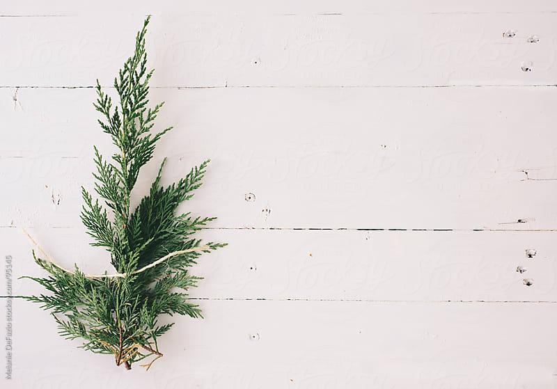 Cypress branch by Melanie DeFazio for Stocksy United
