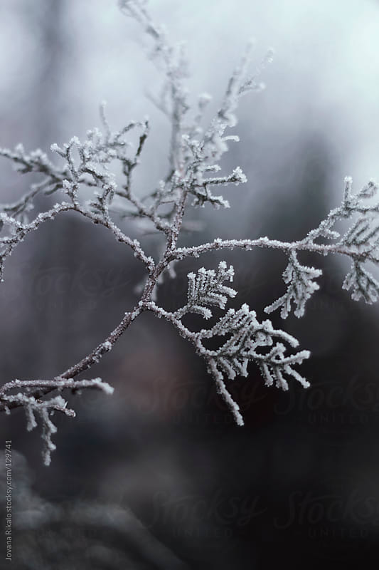 Frozen twig by Jovana Rikalo for Stocksy United