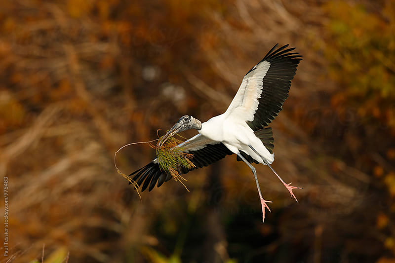 Wood Stork by Paul Tessier for Stocksy United