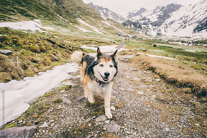 Husky dog in the mountains by michela ravasio for Stocksy United