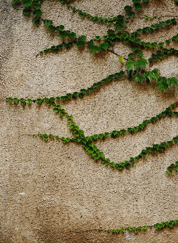 green ivy on grey wall by Atakan-Erkut Uzun for Stocksy United
