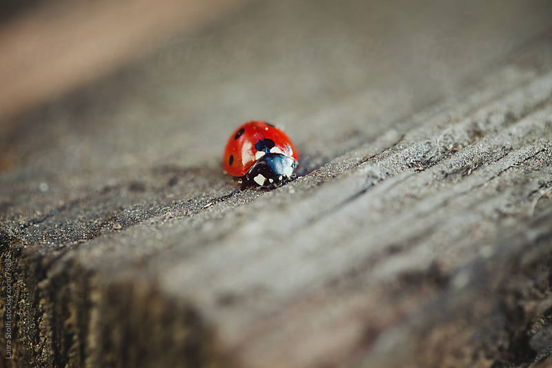 Close-up of ladybug on wooden table  by Laura Stolfi for Stocksy United